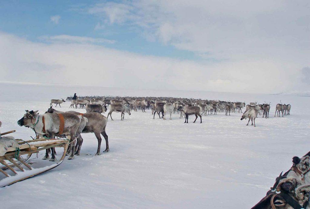 Стадо оленей. Арктика.