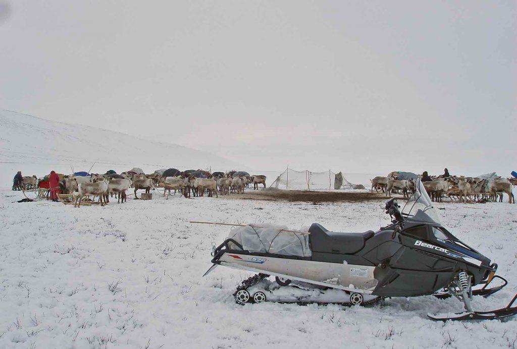 Олени в тундре. Арктика.