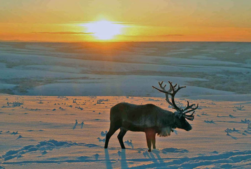 Олень в тундре. Арктика.